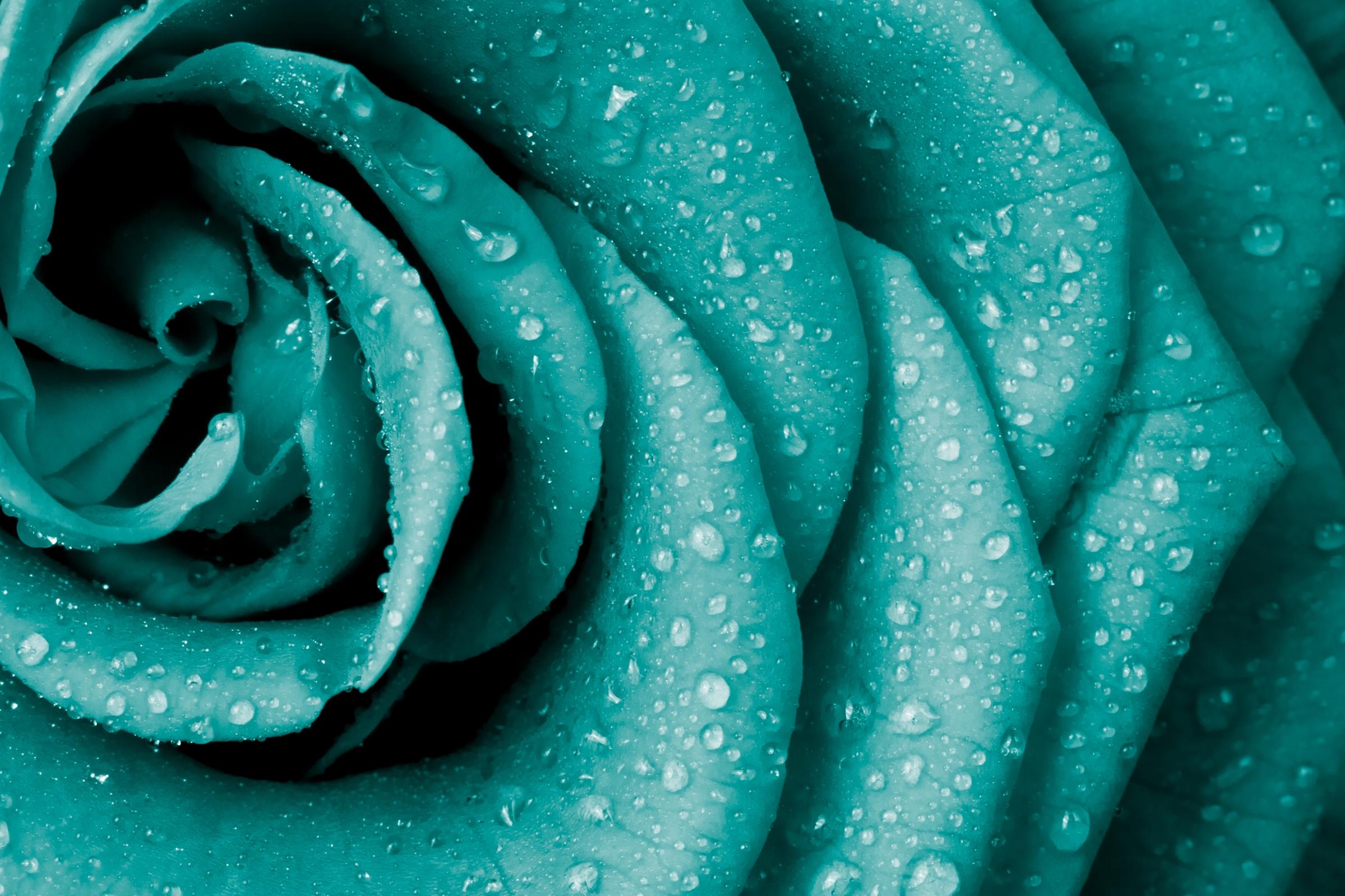 background teal rose